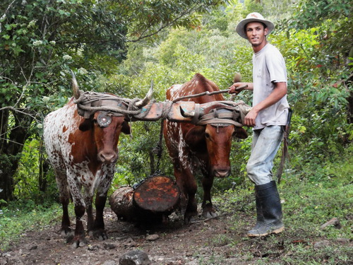 Oxen for Hauling dead wood